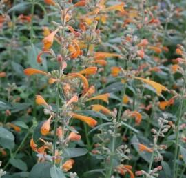 Agastache aurantiaca 'Tango'  Mexikonessel, orange - Bild vergrößern