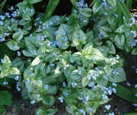 Brunnera macrophylla 'Jack Frost'®, Kaukasusvergißmeinnicht - Bild vergrößern