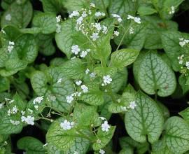 Brunnera macrophylla 'Mr. Morse'®, Kaukasusvergißmeinnicht - Bild vergrößern