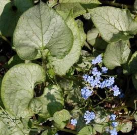Brunnera macrophylla 'Looking Glas', Kaukasusvergißmeinnicht - Bild vergrößern