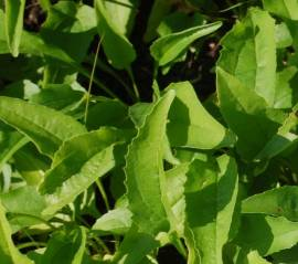 Echinacea purpurea 'Hot Lava'®, Sonnenhut - Bild vergrößern