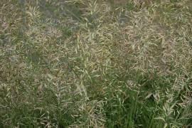 Festuca ovina Schafschwingel - Bild vergrößern