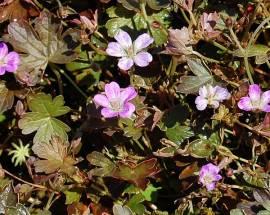 Geranium cultorum 'Tanya Rendall', Storchschnabel - Bild vergrößern