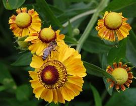 Stadtbienen, Paket mit 20 ausgesuchten Bienenfutterpflanzen für den Balkon - Bild vergrößern
