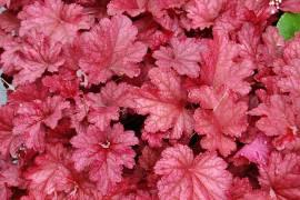Heuchera Hybride 'Berry Smoothie', Purpurglöckchen - Bild vergrößern