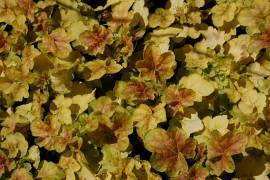 Heuchera Hybride 'Miracle', Purpurglöckchen - Bild vergrößern