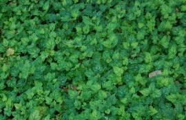 Heucherella alba 'Bridget Bloom' Schaumglöckchen - Bild vergrößern