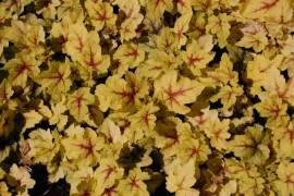 Heucherella 'Stoplight' Schaumglöckchen - Bild vergrößern