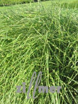 miscanthus sinensis 39 little zebra 39 niedriges chinaschilf zebragras. Black Bedroom Furniture Sets. Home Design Ideas