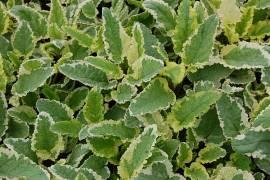 Scrophularia auriculata 'Variegata', Braunwurz - Bild vergrößern