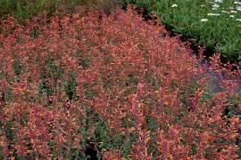 Agastache aurantiaca 'Apricot Sprite'  Mexikonessel, orange - Bild vergrößern