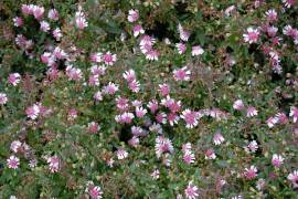Aster lateriflorus var. horizontalis 'Lady in Black' Waagerechte Herbstaster - Bild vergr��ern