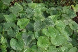 Brunnera macrophylla 'Langtrees', Kaukasusvergißmeinnicht - Bild vergrößern