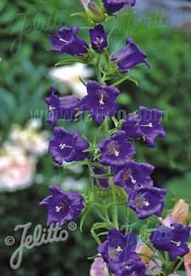 Campanula medium 'Blau' Marien- Glockenblume - Bild vergrößern