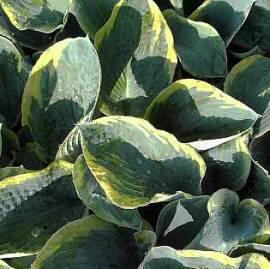 Hosta Hybride 'Frances Williams', Funkie