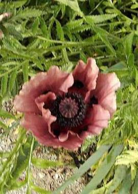 papaver orientale 39 patty 39 s plum 39 mohn. Black Bedroom Furniture Sets. Home Design Ideas