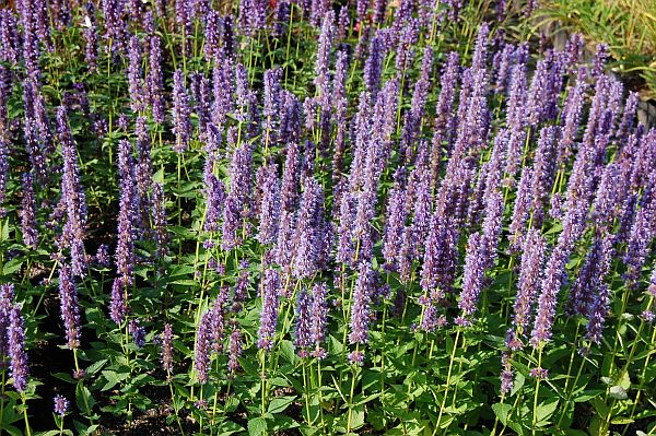 agastache rugosa x foeniculum 39 blue fortune 39 mexikonessel. Black Bedroom Furniture Sets. Home Design Ideas