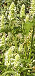 Agastache rugosa x foeniculum 'Alba'  Mexikonessel