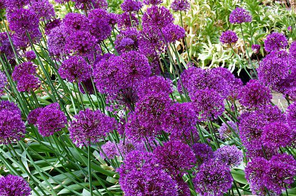 allium aflatunense 39 purple sensation 39 zierlauch. Black Bedroom Furniture Sets. Home Design Ideas
