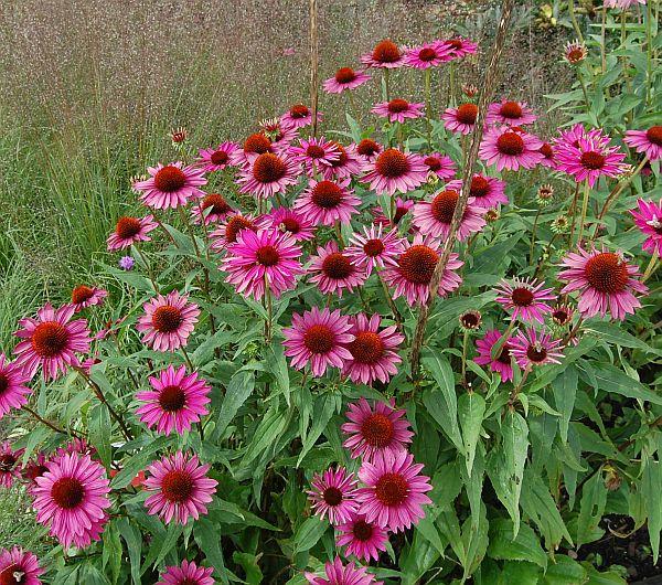 echinacea purpurea sonnenhut 39 rubinstern 39. Black Bedroom Furniture Sets. Home Design Ideas