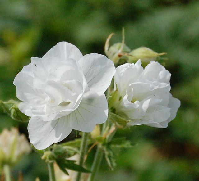 geranium pratense 39 laura 39 storchschnabel weiss gef llt. Black Bedroom Furniture Sets. Home Design Ideas