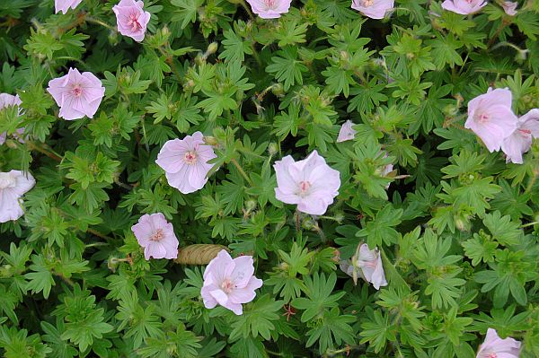 perennial nursery geranium sanguineum 39 apfelbl te 39. Black Bedroom Furniture Sets. Home Design Ideas