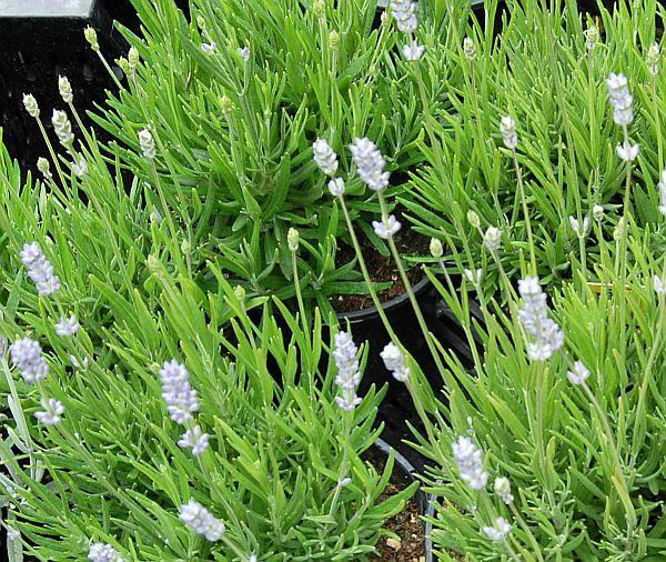 lavandula angustifolia 39 blue cushion 39 lavendel. Black Bedroom Furniture Sets. Home Design Ideas