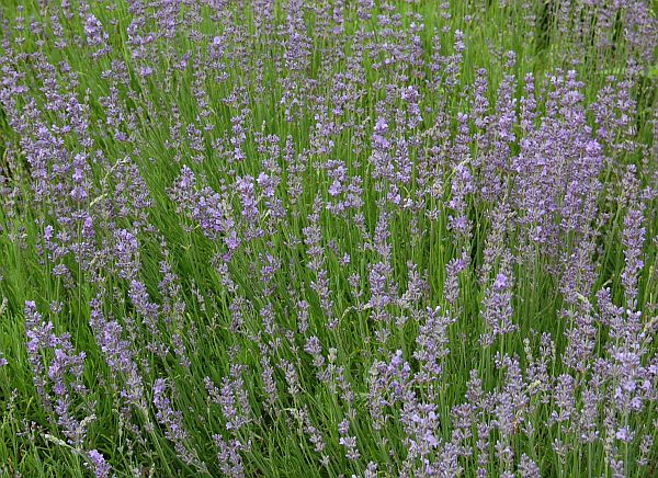 lavandula angustifolia 39 dwarf blue 39 lavendel. Black Bedroom Furniture Sets. Home Design Ideas