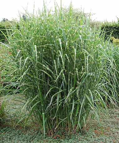 miscanthus sinensis 39 zebrinus 39 chinaschilf stachelschweingras. Black Bedroom Furniture Sets. Home Design Ideas