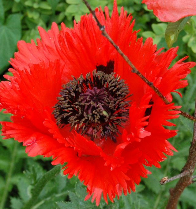 papaver orientale 39 t rkenlouis 39 mohn oriental poppy. Black Bedroom Furniture Sets. Home Design Ideas