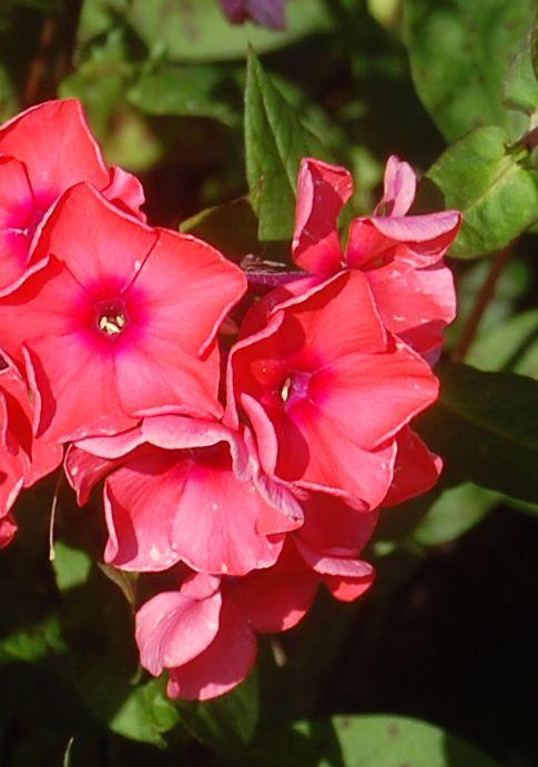 Phlox paniculata tequila sunrise