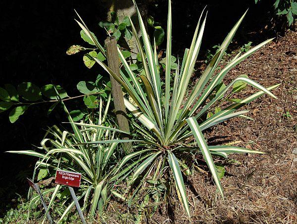 yucca flaccida 39 bright edge 39 palmlilie. Black Bedroom Furniture Sets. Home Design Ideas