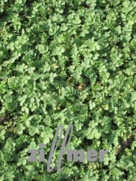 Acaena buchananii, Stachelnüßchen, silbergrau - Bild vergrößern