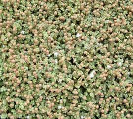 Acaena microphylla, Stachelnüßchen, olivgrün - Bild vergrößern