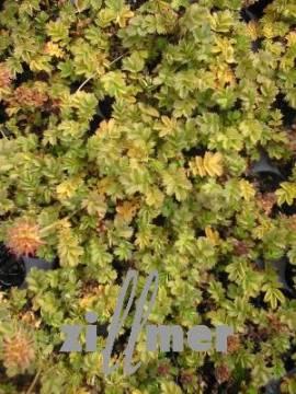 Acaena microphylla 'Grüner Zwerg', Stachelnüßchen - Bild vergrößern