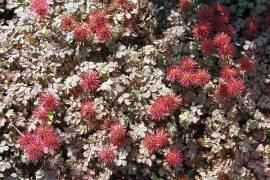 Stachelnüßchen, Acaena microphylla 'Kupferteppich' - Bild vergrößern