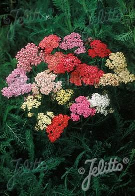 Achillea Millefolium - Hybriden 'Colorado', Schafgarbe - Bild vergrößern