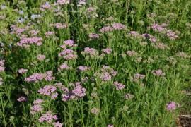 Achillea millefolium 'Lilac Beauty', Schafgarbe - Bild vergrößern