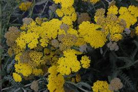 Goldgarbe, Achillea clypeolata 'Moonshine' - Bild vergrößern