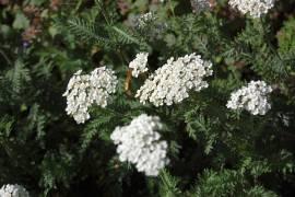 Achillea millefolium 'Schneetaler' Schafgarbe - Bild vergrößern