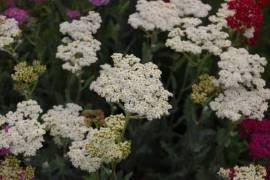 Achillea Millefolium - Hybriden 'Alabaster', Schafgarbe - Bild vergrößern