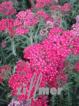 Achillea millefolium 'Christel', Schafgarbe - Bild vergrößern