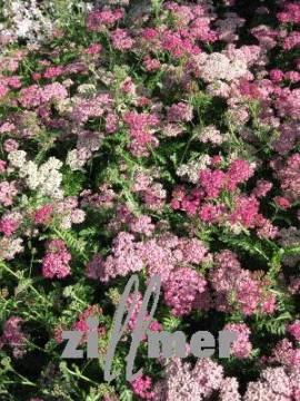 Achillea Millefolium - Hybriden 'Excel', Schafgarbe - Bild vergrößern