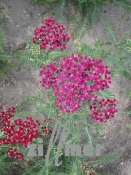 Achillea millefolium 'Sammetriese', Schafgarbe - Bild vergrößern
