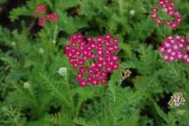 Achillea Millefolium - Hybriden 'Serenade', Schafgarbe - Bild vergrößern