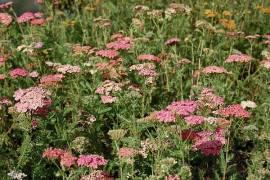 Achillea millefolium 'Wesersandstein', Schafgarbe - Bild vergrößern