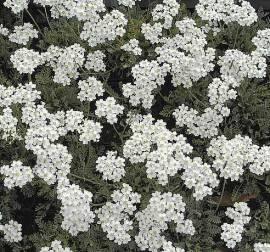 Zwergschafgarbe, Achillea kolbiana - Bild vergrößern