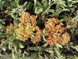 Achillea Millefolium - Hybriden 'Terracotta', Schafgarbe - Bild vergrößern