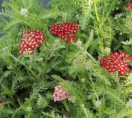 Achillea Millefolium - Hybriden 'Paprika', Schafgarbe - Bild vergrößern