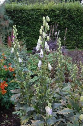 Aconitum x cammarum 'Cloudy', Eisenhut - Bild vergrößern